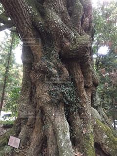 大杉神社の大木の写真・画像素材[1014615]