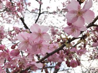 桜の写真・画像素材[333565]