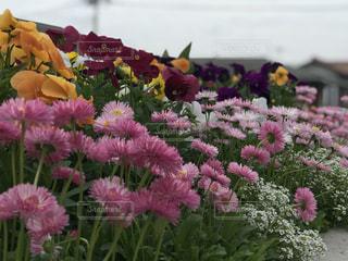 花壇の花達の写真・画像素材[1160784]