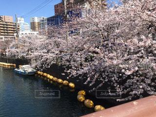桜の写真・画像素材[330033]