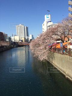 桜の写真・画像素材[330058]
