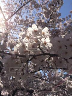 桜の写真・画像素材[330061]