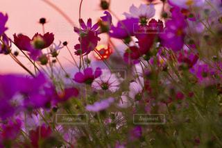 秋桜と夕陽の写真・画像素材[2642495]