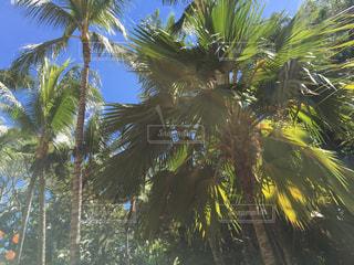 ヤシの木の写真・画像素材[319948]