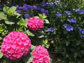 花の写真・画像素材[320245]