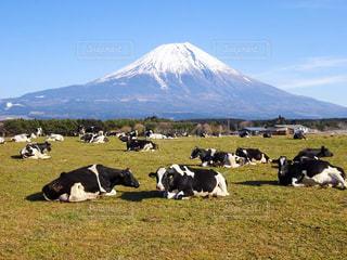 緑豊かな緑の草原に放牧牛の群れの写真・画像素材[927909]
