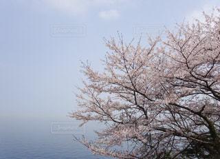 海と桜の写真・画像素材[1121097]