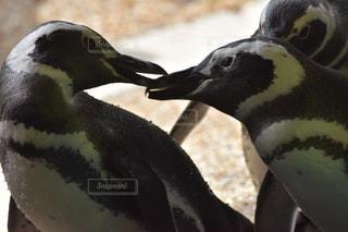近くにペンギンのアップ - No.770542