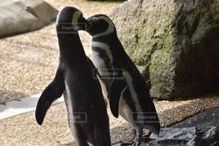 岩に立っているペンギン - No.770543