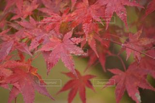 ピンクの花の木の写真・画像素材[883779]