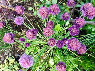 紫の丸い花の写真・画像素材[1173979]