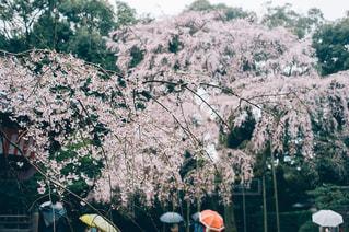 雨の醍醐寺の桜 - No.1128767