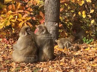 日本猿の写真・画像素材[337950]