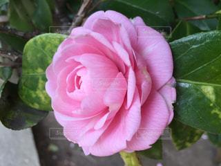 花の写真・画像素材[395592]