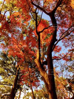 森の大きな木の写真・画像素材[889885]