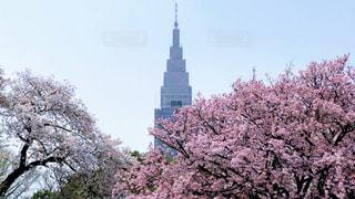 新宿御苑の桜の写真・画像素材[1986340]
