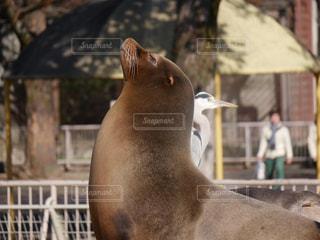 シールの前に立っている馬の写真・画像素材[919751]