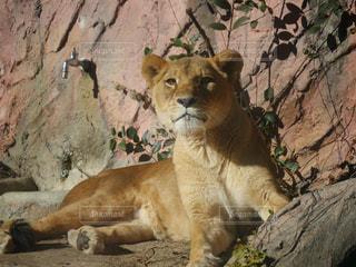 岩の上に座っているライオンの写真・画像素材[919754]