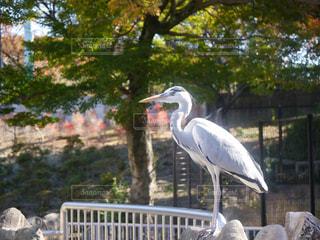 フェンスの前に大きな白い鳥立つの写真・画像素材[919771]