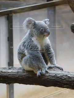 ベンチに座ってコアラの写真・画像素材[919781]