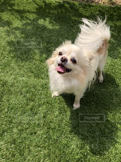 茶色と白の犬の口の中でフリスビーで遊んでの写真・画像素材[1104929]