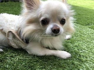 緑の草の上に横たわる茶色と白犬の写真・画像素材[1104932]