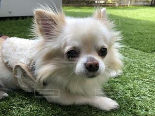 緑の草の上に横たわる茶色と白犬の写真・画像素材[1104933]