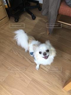 床に座って茶色と白犬の写真・画像素材[1764648]