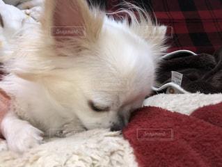 ベッドの上で横になっている茶色と白犬の写真・画像素材[1764686]