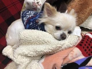 毛布の上に横たわる小さな茶色と白犬の写真・画像素材[1796774]