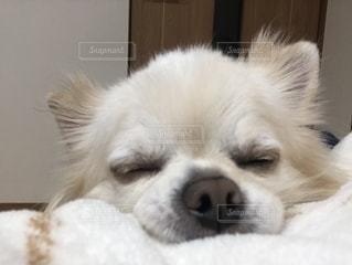 茶色と白の犬がベッドの上に横たわっているの写真・画像素材[2170956]