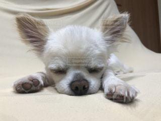 地面に横たわる茶色と白い犬の写真・画像素材[2431778]
