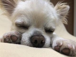カメラを見ている茶色と白の犬の写真・画像素材[2431780]