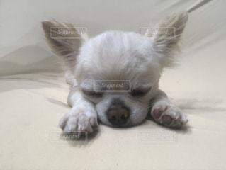地面に横たわる茶色と白い犬の写真・画像素材[2431783]