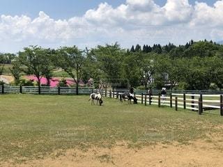 草に覆われた野原の上に立つ牛の群れの写真・画像素材[2431807]
