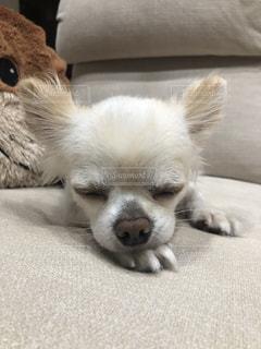 毛布の上に横たわる茶色と白い犬の写真・画像素材[2431815]