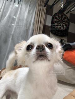 横になってカメラを見ている犬の写真・画像素材[2431818]