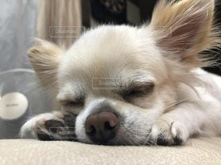 地面に横たわっている茶色と白の犬の写真・画像素材[2822770]
