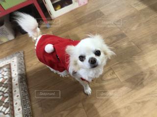 床に立っている小さな白い犬の写真・画像素材[2822804]