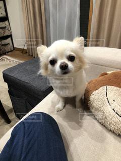 カメラを見ている小さな白い犬の写真・画像素材[2822806]