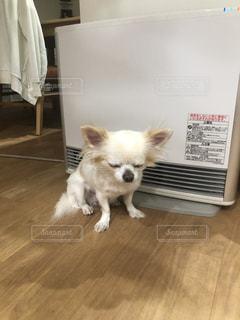 床に立っている小さな白い犬の写真・画像素材[2822809]