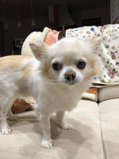小さな白い犬の写真・画像素材[2822813]