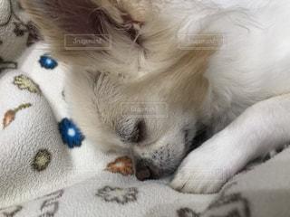 地面に横たわっている茶色と白の犬の写真・画像素材[2853199]