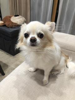 テーブルの上に座っている茶色と白の犬の写真・画像素材[2950226]