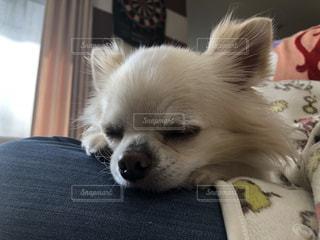 ベッドに横たわる茶色と白の犬の写真・画像素材[2950227]
