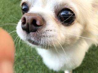 カメラを見ている茶色と白の犬の写真・画像素材[3034887]