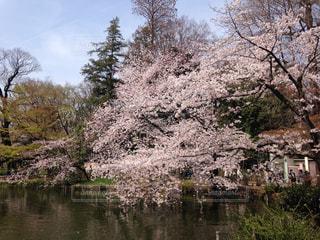 桜 - No.324118