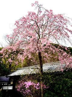 桜 - No.324121