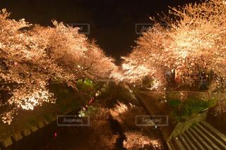 夜桜2の写真・画像素材[1881091]