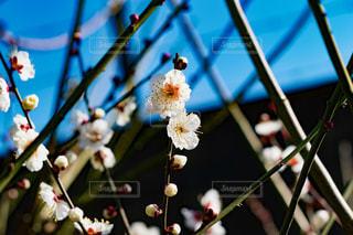 梅の写真・画像素材[2867882]